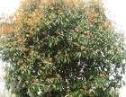 大桂花树 出售