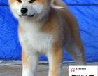 哪里有卖秋田犬 出售纯种秋田犬犬舍在哪里