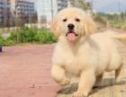 重庆纯种金毛犬 金毛犬舍 重庆金毛的价格是多少