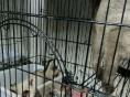 自家猫舍精心繁育的两窝暹罗猫暹罗幼猫七百出售多只供您挑选