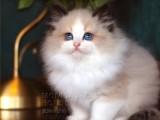 全國連鎖正規貓舍 哪里可以買寵物貓布偶貓