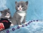 正规猫舍 专业繁殖 双血赛级 蓝猫 公母齐全 欢迎上门选购