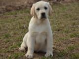 正规繁殖出售大骨架拉布拉多犬 签订纯正活体协议