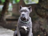 大骨架重头版卡斯罗精品幼犬保纯种健康带血统全国包运