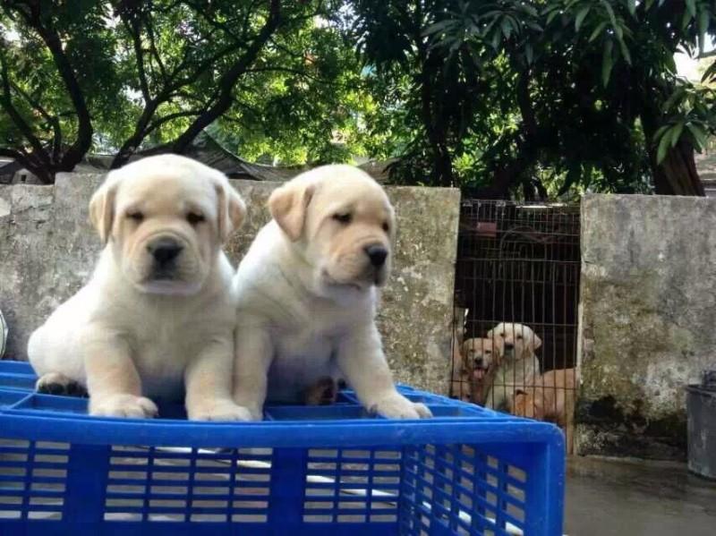 惠州哪里有阿拉斯加幼犬 惠城城区哪里有卖阿拉斯加幼犬