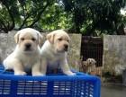 惠州哪里有拉布拉多幼犬 惠城城区哪里有卖拉布拉多幼犬