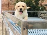 银川哪里卖纯种拉布拉多幼犬黄色拉布拉多犬拉布拉多多少钱奶