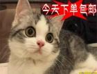 火爆直销英国短毛猫绿眼猫咪纯种健康当天包邮