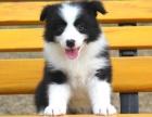 广州市区哪里买边牧最好 广州最好边牧犬舍三个月公母全有