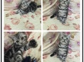 纯种健康美国短毛猫专业繁殖可预定公母均有可送货上门