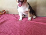 短腿狗狗幼崽 威尔士女王的挚爱 帅气柯基狗狗