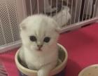 领养&出售 英短 美短 渐层 虎斑 小猫
