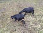 黑山羊养殖基地哪里有吗