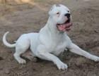 出售杜高犬 杜高幼犬 质量好 血统纯 健康保证