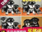 武汉哪里出售纯种雪纳瑞犬,武汉雪纳瑞多少钱,武汉养殖场直销