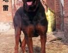 中国山红犬莱州红看家护卫好帮手 出售纯种莱州红幼犬