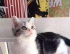 CFA猫舍繁殖精品短毛猫英短 美短多只在售签协议