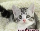 美短加白美短标斑 美国短毛猫出售 送货上门签协议