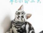 美国短毛猫 美短 加白 银虎斑 包子脸 双绿眼基因