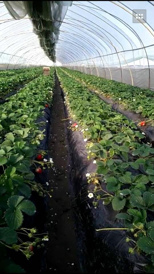 淮安王先生奶油草莓采摘基地