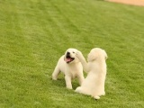鄭州出售 純種拉布拉多幼犬 狗狗出售 可簽協議健康保障