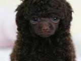 北京通保名犬纯种泰迪犬价格纯种泰迪幼犬价格纯种泰迪犬多少钱