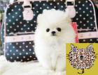 小型犬博美价格 纯种球体白色 黄色博美 公母均有