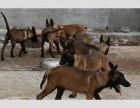 自家繁殖饲养的马犬低价出售