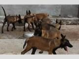 低价出售黑马犬 马犬多少钱一条