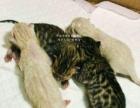 孟加拉豹猫(和雪豹)