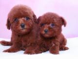 重庆出售 泰迪幼犬狗狗出售 包纯种 包健康