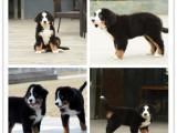 犬舍直销伯恩山犬多少钱 精品伯恩山犬价格 伯恩山犬繁殖