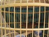玩赏鸟价格500