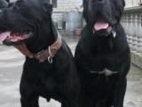 纯种卡斯罗护卫犬 品相一流 自家养殖 包健康