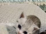 英短加白折耳小猫