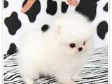东莞 宠物狗 宠物繁殖基地长期出售各类宠物幼犬 包纯种包健康