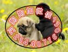 国内较大繁殖基地 出售双血统巴哥犬 憨厚可爱