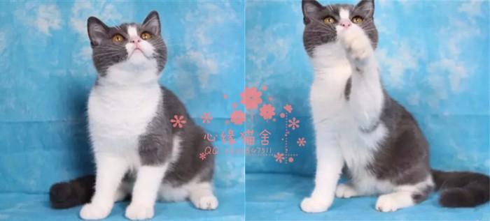 南京蓝猫多少钱 南京哪里出售的蓝猫幼犬价格较便宜