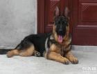 品质有保障 信誉售后服务 狗场直销纯种德国牧羊犬