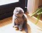 纯种英短蓝猫折耳