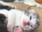 非繁殖 美国短毛猫起司猫美短斑美短加白