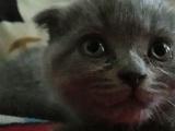 英短折耳蓝猫三只