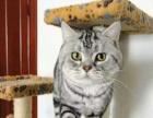 自家繁殖的纯种波斯猫疫苗齐全健康有保障
