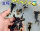 观赏鱼养殖场/大量批发零售/精品金鱼、锦鲤、红草