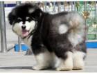 上海大骨架大毛量的阿拉斯加幼犬是超大型很拉风的狗狗