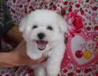 郑州哪里出售纯种的比熊 哪里能买到品相最好的比熊狗狗
