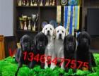 犬舍出售阿拉斯加哈士奇金毛拉布拉多邊境牧羊犬賽級血統聰明溫順