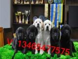 犬舍出售阿拉斯加哈士奇金毛拉布拉多边境牧羊犬赛级血统聪明温顺