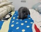 垂耳兔,长毛兔