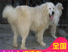 纯种型大白熊幼犬狗狗 完美售后质量三包 健康可检测